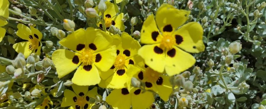 La floración de la «hierba de los espíritus»